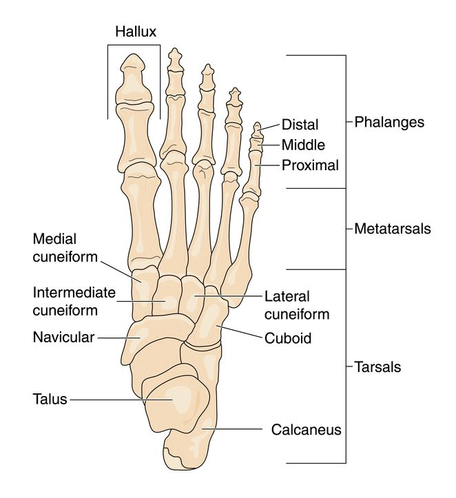Anatomy of the Foot and Ankle by Podiatrist | Denver CO | Elite Foot ...